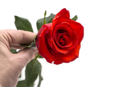 beautiful red rose in female hands on white background with copy space. Zdjęcie Seryjne