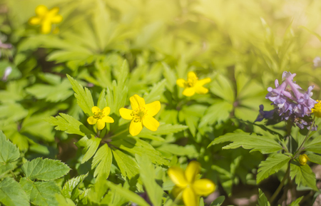 natural background of yellow buttercups in bright sunlight.