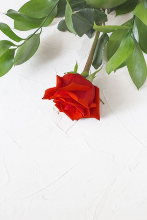 postcard with fresh red rose on white concrete background with copy space.