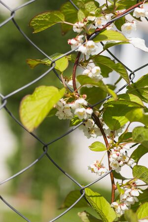 Actinidia climbing plant with flowers on the fence