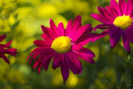 bright dark pink Echinacea flower on soft colorful bokeh background.