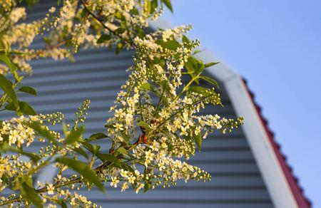 a branch of a blossoming bird cherry in the sunset. Standard-Bild - 129255205