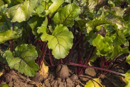 red beet growing in the ground in the garden on a Sunny day. Stock fotó