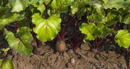 tops and roots of red beet growing in the ground in the garden.