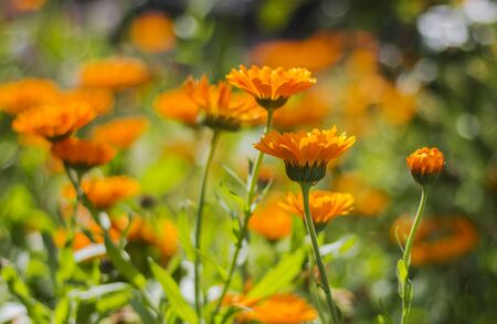 Blurred background with blooming calendula in summer. Colorful wide horizontal floral Wallpaper.