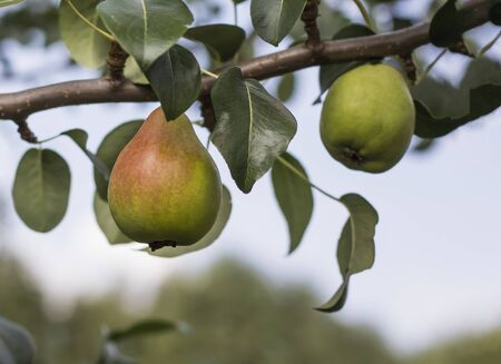 Fruits of sweet pear on a tree branch in the orchard. Stockfoto