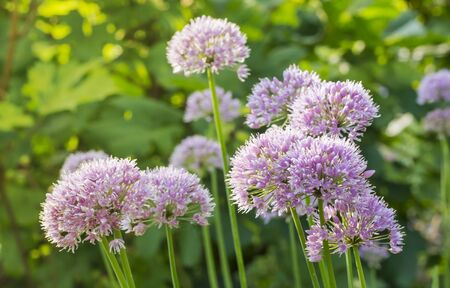 round purple flowers of onion growing in the garden