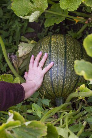 woman shows what a big green pumpkin grows in the garden.