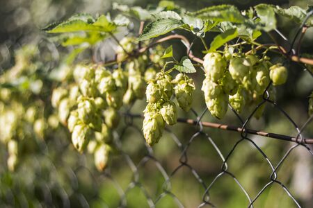 green hops growing on the fence, used for the production of beer and medicines. Banco de Imagens
