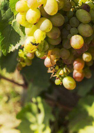 Garden pest predatory wild Wasp destroys the fruit of grapes.