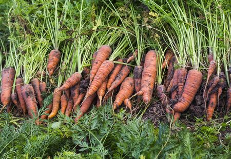 lies on the bed just dug out of the ground dirty carrots, harvesting.