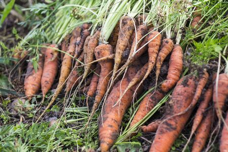 lies on the bed just dug out of the ground dirty carrots with tops, harvesting. Reklamní fotografie