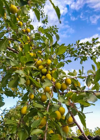 Sweet ripe yellow plum on a tree in the garden against the blue sky