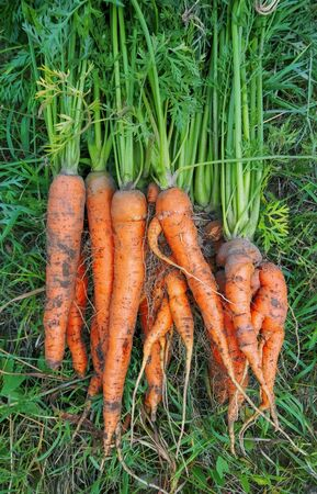 freshly harvested harvest of juicy carrots on the grass Imagens - 133846405