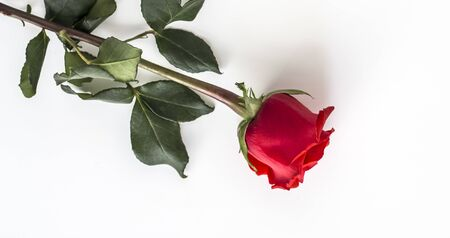 one beautiful Red rose on a white background. Imagens - 133846591
