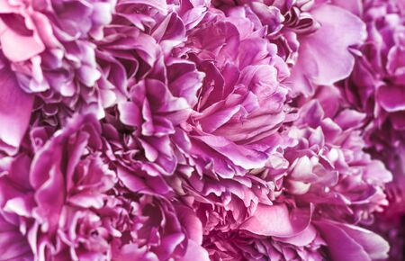 background of pale purple petals of peony flower