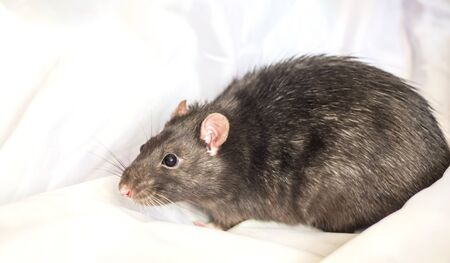 a cautious grey house rat sits on a white background Imagens - 133846598