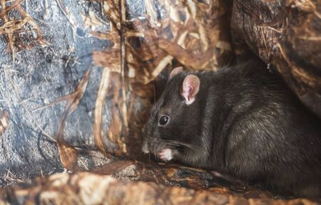 a hidden gray house rat eating its food neatly