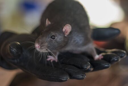 a curious gray rat sits on a mans arm Stock Photo - 133846602
