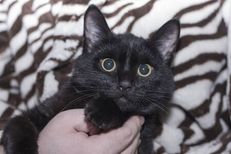 surprised and sad black cat in the hands of a man. Imagens - 135477650