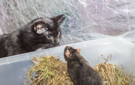 meeting gray rats with black young cat. Imagens - 135066438