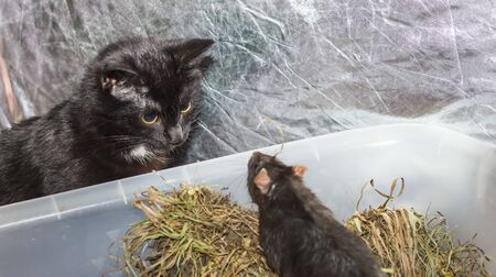 a curious black cat peeks into the cage of a gray rat and confronts it. Imagens - 135066414