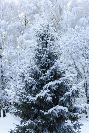 green spruce covered with snow in the forest. Imagens - 134930237
