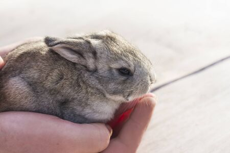 Baby Rabbit gray quietly sitting on womens hands Imagens - 135478146