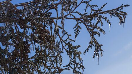The branches of the TUI trees were covered with ice after the icy rain.