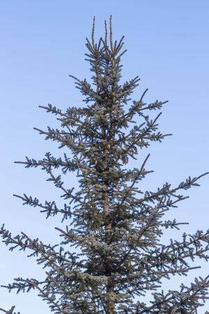 cones on a blue spruce against a blue sky.