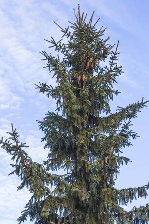 a green spruce tree with many cones against the sky.