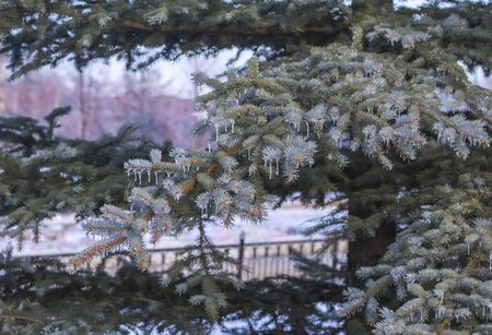 icicles on the branches of spruce after the ice storms in the winter. Imagens
