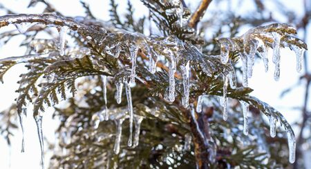 The branches of the green thuja were covered with ice after the icy rain.