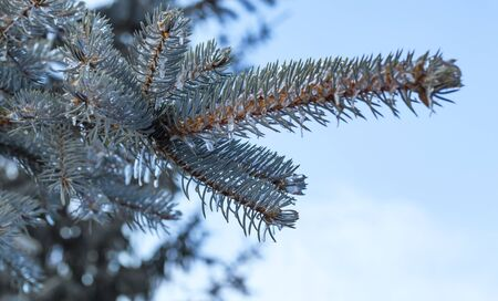 icicles are formed on the branches of blue spruce after an ice storm in winter against the sky.