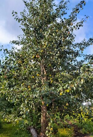 Young green pear tree with fruit in a Sunny garden.
