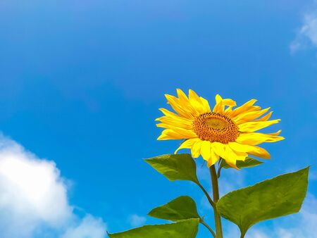 one yellow sunflower against a Sunny blue sky.