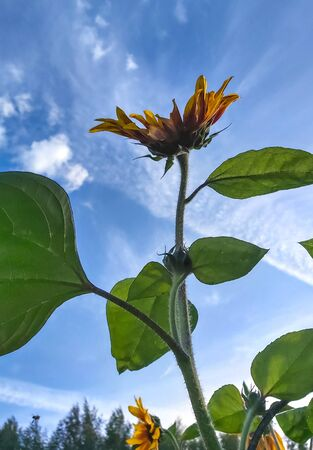 decorative sunflower flower with large green leaves against the sky.