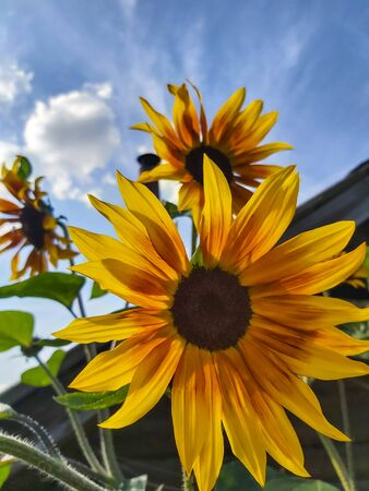 decorative sunflower flowers on the sky background.