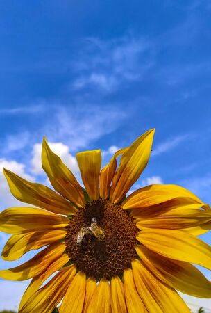 two bees sit on a flower of an ornamental sunflower against the sky.