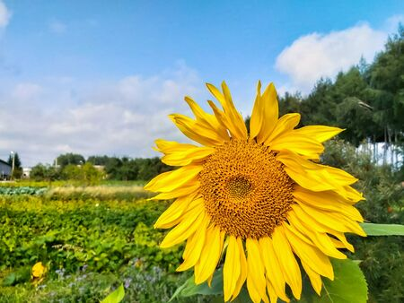 sunflower on the background of blue sky and green garden.