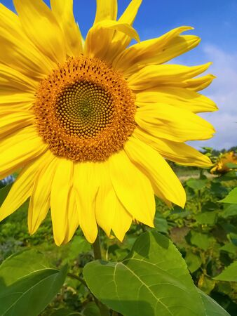 large yellow sunflower close up against the sky.