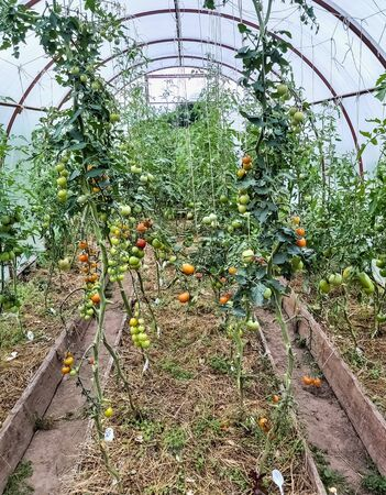Rows of ripe and unripe tomatoes in a home greenhouse. Imagens