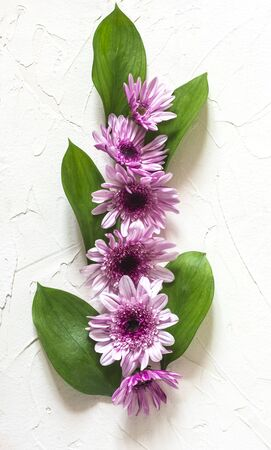 flat lay chrysanthemum flowers purple with green leaves vertical composition.