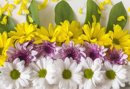 background of yellow with purple and white chrysanthemum flowers with green leaves.