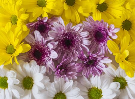 background of yellow with purple and white chrysanthemum flowers.