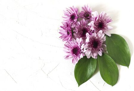 flat lay a composition of purple chrysanthemums with a copy of the space.