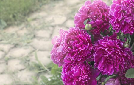 dark pink peony flowers blooming in the garden with a copy of the space. Stock Photo