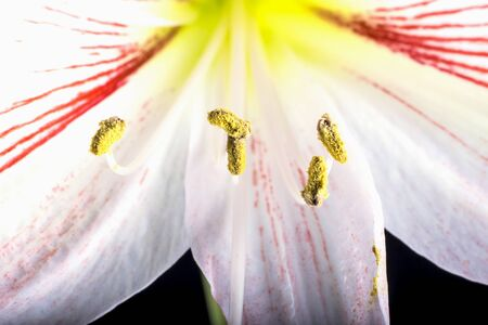 Close-up of Amaryllis stamens, flower on a black background.