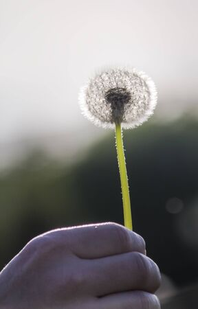 the fluffy silhouette of a dandelion in the evening sunlight.