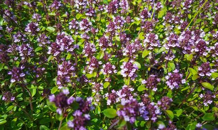 background of flowering thyme growing in the garden.